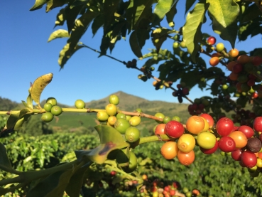 Analysis of Glyphosate residues in coffee